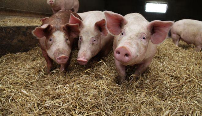 Autorităţile trebuie să-şi asume Legea porcului - autoritatiletrebuie-1620119897.jpg