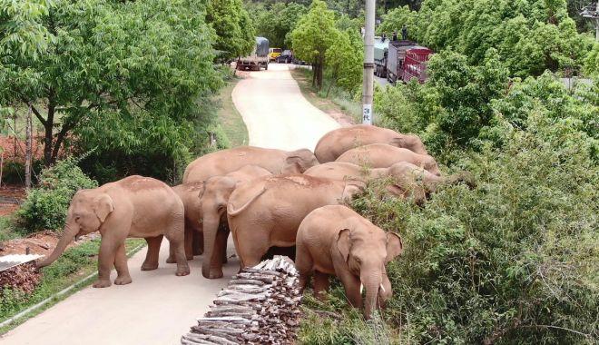 Călătoria celor 15 elefanţi urmărită pe tot globul are în spate o poveste tristă - calatoria1-1623320332.jpg