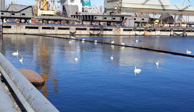VIDEO / Cine se face vinovat de moartea lebedelor din portul Constanța? - fond-1610044759.jpg