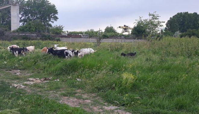 """Salvați zona """"Energia""""! A devenit raiul buruienilor și locul de păscut al caprelor - fondcapre6-1622385950.jpg"""
