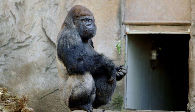 Două gorile de la o grădină zoologică din California, testate pozitiv cu COVID-19 - gorila-1610439612.jpg