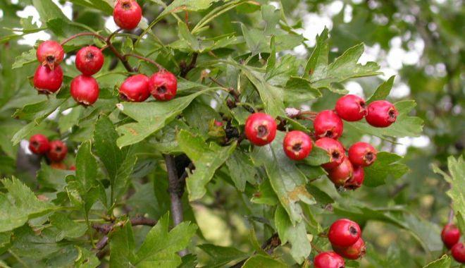 Sănătate din natură - Extractele de păducel au potențial antiinflamator - paducel2-1632488795.jpg