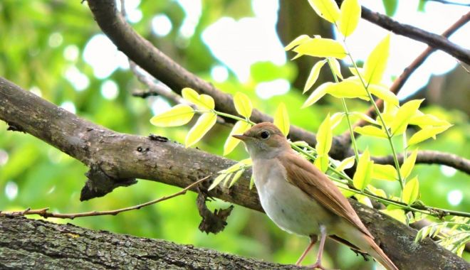 Duel între păsări şi oameni. Noaptea Privighetorilor, transmisă online - pasare-1623324145.jpg