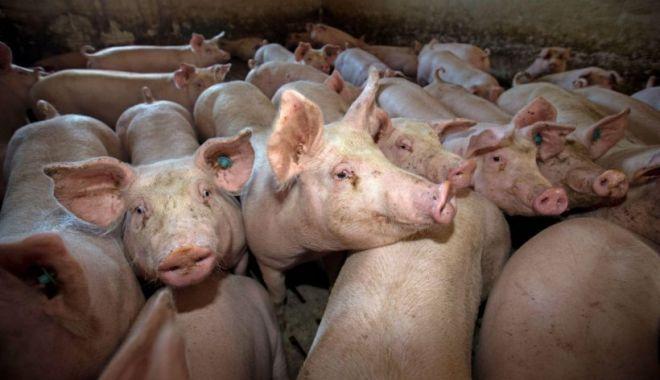 Avertismentul fermierilor: Porcul românesc, pe cale de dispariție din cauza pestei porcine - porc-1632228128.jpg