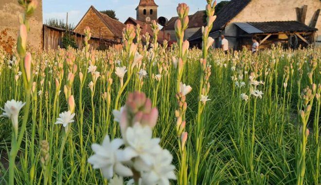 România va avea prima floare protejată la nivel European - tuberoze2ar1l-1627214664.jpg