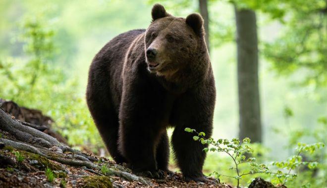 Guvernul a adoptat OUG care permite împușcarea urșilor. Tanczos Barna: