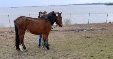 Proprietarul cailor abandonați pe câmp lângă Techirghiol, AMENDAT cu 3.000 de lei!