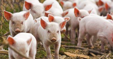 """""""Săptămâna viitoare vom intra în Guvern cu propunerea de act normativ privind despăgubirile pentru pesta porcină"""""""