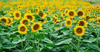 Se caută culegători de floarea soarelui