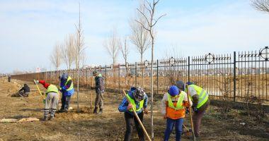 Plantări la Constanţa. Copaci, gard viu şi arbori decorativi pe bulevardele Constanţei