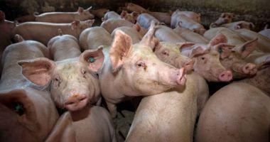 Avertismentul fermierilor: Porcul românesc, pe cale de dispariție din cauza pestei porcine